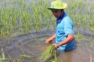 Đồng bằng sông Cửu Long: Lũ về sớm, nông dân 'kêu khóc' vì lúa bị nhấn chìm