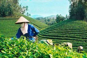 Tăng cường chất lượng, an toàn thực phẩm trong sản xuất, chế biến, kinh doanh chè