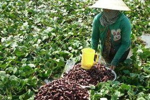 Trồng củ ấu trên đất lúa nông dân thu nhập vài chục triệu đồng