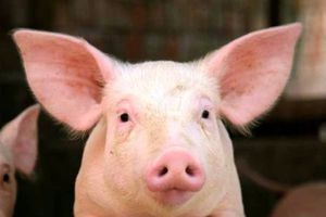 Giá cả thị trường hôm nay (9/11): Giá lợn hơi tại miền Trung và Tây Nguyên cao nhất cả nước