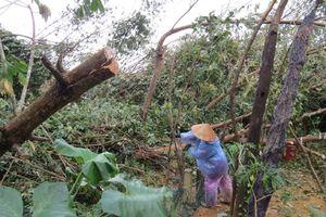 Phú Yên: Cao su hoang tàn sau bão, người dân chặt bán củi
