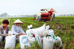 Vì sao giá lúa gạo miền Bắc tăng?