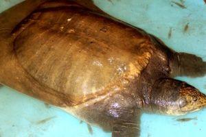 Hậu Giang: Bắt được cua đinh 'khổng lồ', nặng 40kg
