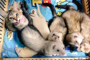Điều gì sẽ xảy ra với một con mèo được 5 con chồn sương nuôi lớn