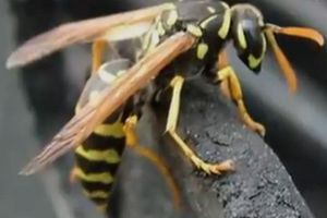 Ong làm tổ trong nhà, phá hay giữ?