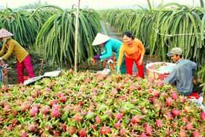 Nông dân đổi đời nhờ thanh long xuất khẩu