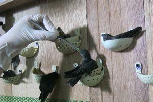 Về thủ phủ nuôi chim yến kiếm bạc tỷ tại Kiên Giang