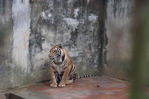 Ông trùm buôn động vật hoang dã dưới vỏ bọc chủ cơ sở bảo tồn hổ