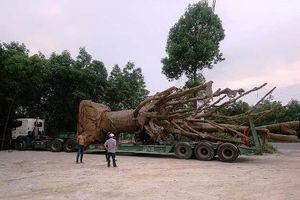 Vụ 3 cây gỗ 'khủng' bị giữ ở Huế: Dùng giấy phép vận chuyển máy chở cây