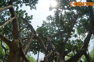 Thăm cây đa Bác Hồ trồng giữa Thủ đô Hà Nội