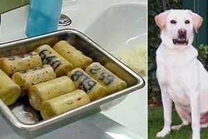 Triệt phá đường dây nhét ma túy vào bụng chó đưa sang Mỹ và châu Âu