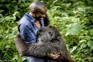 Xúc động khoảnh khắc khỉ đột núi khổng lồ ôm chặt người