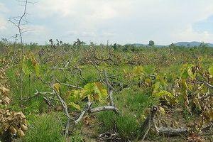 Đắk Lắk: Hàng loạt công ty giữ rừng 'sai phạm chồng sai phạm'
