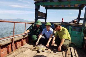 Hà Tĩnh: Thả rùa biển quý hiếm nặng 40kg về môi trường tự nhiên