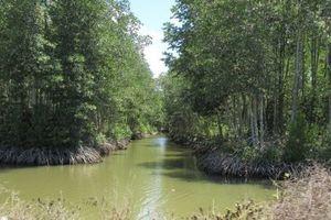 Rừng đước chết bất thường ở Vườn Quốc gia Mũi Cà Mau là do úng nước