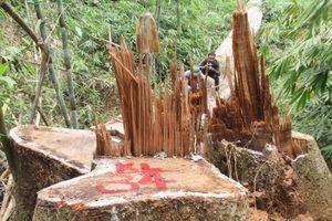 Truy nã hai nghi can cầm đầu vụ phá rừng lim cổ thụ tại Quảng Nam