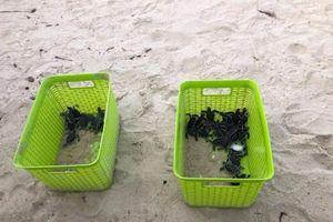Thả 115 rùa con về môi trường tự nhiên