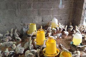 Nghệ An: Nhân rộng mô hình chăn nuôi gà an toàn trên đệm lót sinh học