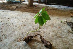 Cả xã đổ xô vào rừng đào bới loại củ đắt như vàng ròng ở Tuyên Quang