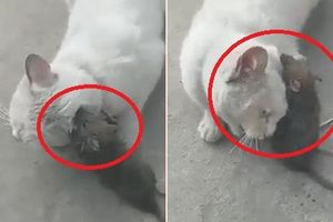 Clip: Bị chuột cắn tai, mèo kêu la thảm thiết cầu cứu người