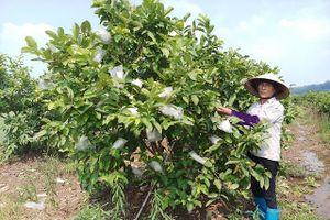 Huyện Quốc Oai: Nhiều mô hình sản xuất doanh thu hàng tỷ đồng