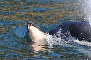 Cá voi mẹ mang xác con bơi qua đại dương: Lời cảnh báo tới con người