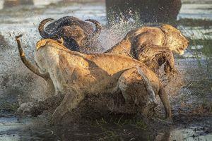 Nhóm sư tử tan tác vì chọc giận trâu rừng