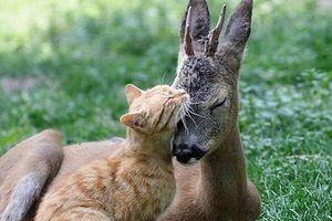 Tình bạn tri kỷ kỳ lạ giữa mèo vàng và nai nhỏ