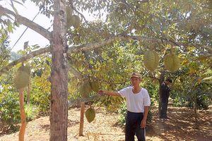 Sầu riêng Khánh Sơn được mùa kép, lãi từ 500 – 800 triệu đồng/ha