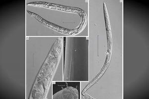 Những con giun thời tiền sử hồi sinh sau 42.000 năm bị đóng băng