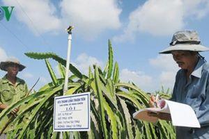 Nông dân hợp tác trồng thanh long sạch xuất khẩu với giá cao