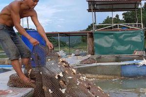 Rời bản ra lòng hồ nuôi cá, cho ăn cây ngô, lá chuối có trăm triệu
