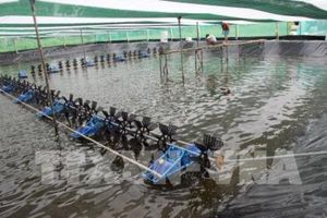 Giá tôm sụt giảm, nhiều hộ nông dân ở Cà Mau tạm ''treo ao''