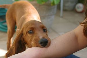 Liên tiếp các vụ bệnh nhân bị chó nhà nuôi cắn