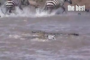 Thế giới động vật: Ngựa vằn chết thảm vì vượt sông bị đàn cá sấu xâu xé