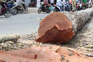 Đốn hạ hàng loạt cây dầu trên 100 năm tuổi vì mất an toàn giao thông?