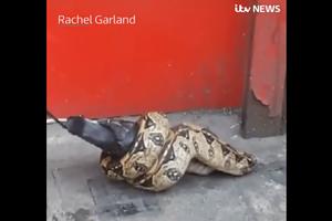 Trăn lớn siết chặt chim bồ câu ngay giữa đường phố London