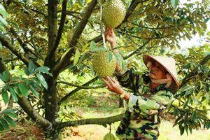 Đáng lo ngại cơn sốt bỏ cây công nghiệp đổ xô trồng cây 'tiền tỷ' sầu riêng ở Tây Nguyên