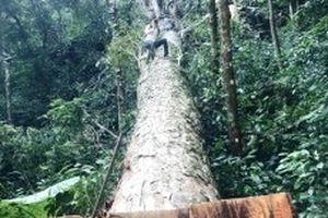 Một cây nghiến lớn trong Vườn quốc gia Ba Bể bị chặt hạ