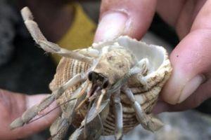 Kỳ công nuôi ốc mượn hồn số lượng khủng làm 'thú cưng' ở đảo Lý Sơn