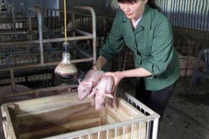 Giá lợn hơi tăng cao ngất ngưởng, không phải ai cũng 'gặp may'