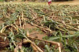 Bị lũ 'đánh úp' nông dân Núa Ngam mất trắng hơn 80ha lúa, ngô