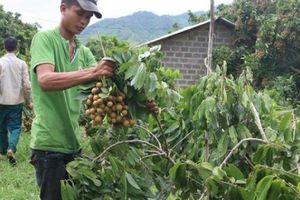 Sơn La quyết tâm xuất khẩu 5.000 tấn nhãn tươi sang Úc, Nhật Bản