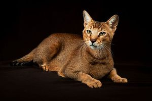 10 giống mèo có trọng lượng lớn nhất thế giới