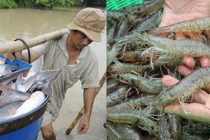 Nghịch cảnh của cá tra và tôm