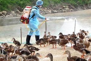 Nguy cơ lây lan cao từ 3 ổ dịch cúm A/H5N6