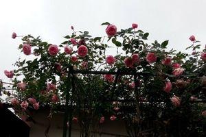 Ngỡ ngàng với ngôi nhà hoa hồng đẹp như cổ tích của ông bố trẻ ở Hưng Yên chia sẻ