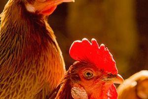 Trang trại gà thịt đầu tiên ở Đồng Nai đạt tiêu chuẩn GlobalGAP