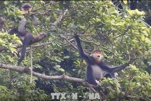 Quảng Nam: Mở rộng, kết nối sinh cảnh tự nhiên cho đàn voọc Chà vá chân xám