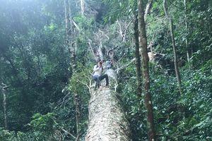 Thủ tướng đã chỉ đạo nhưng rừng vẫn mất